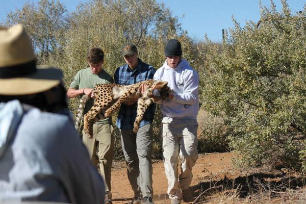 Phil Lewis, junior, did conservation work in Namibia, including medical examinations on cheetahs.