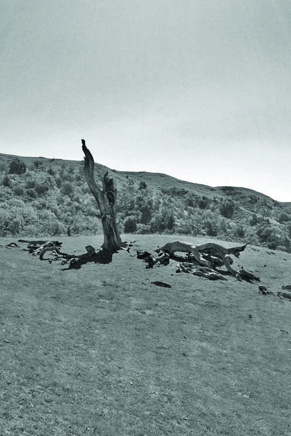 A dead tree stands on a grassy hilltop at Sunol Regional Wilderness.