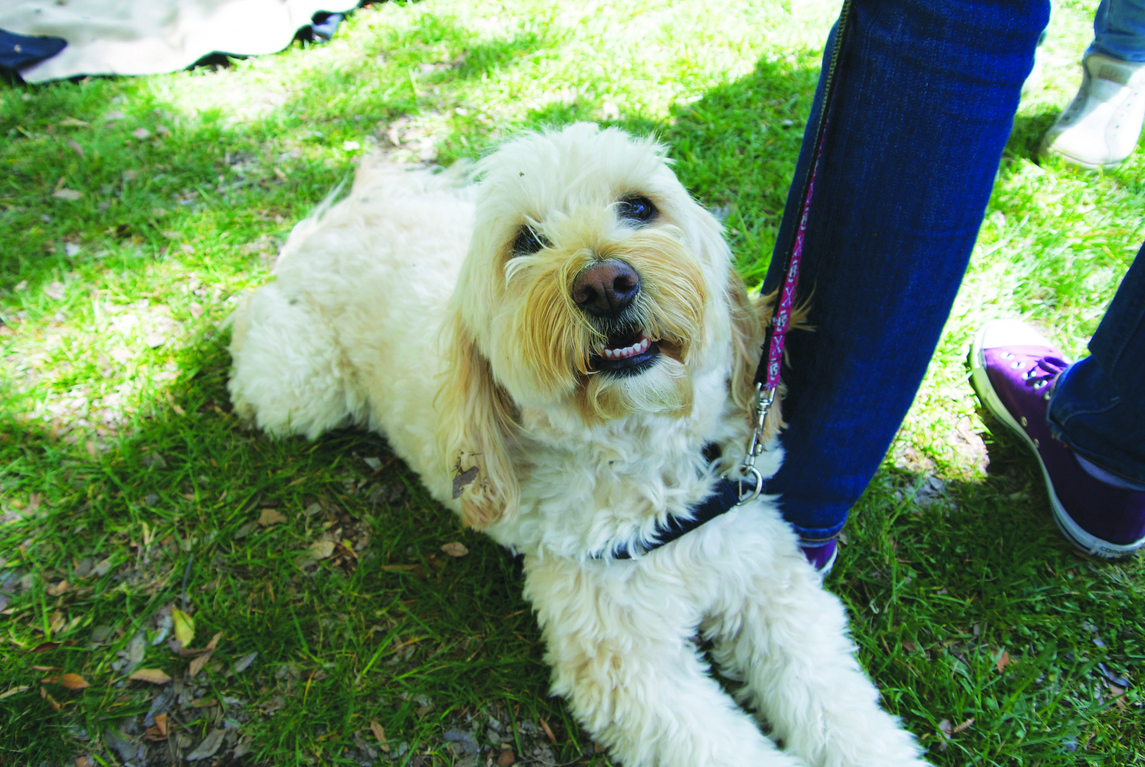 Kaia, a certified Canine Good Citizen dog visiting Paly.